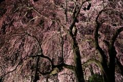 合戦場のしだれ桜#4
