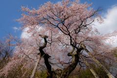 蓮華寺の桜