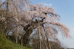蓮華寺の枝垂れ桜