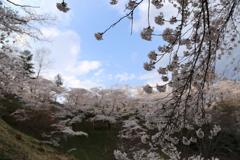 船岡城址公園の桜#1