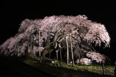 中島の地蔵桜#2