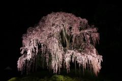 合戦場のしだれ桜#1