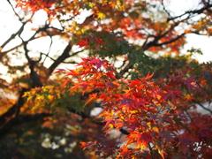 千光寺公園の紅葉1