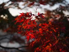 千光寺公園の紅葉3