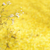 金野に咲く