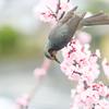 ヒヨドリと杏の花