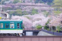 おけいはん桜