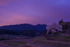 仰木の一本桜