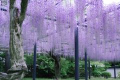 紫カーテン