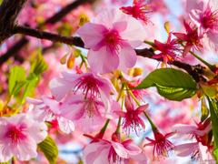 桜 with メジロ…っぽい葉っぱ