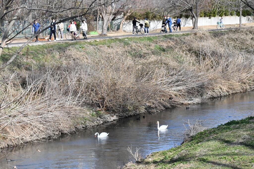 白鳥が泳ぐ近所の小川