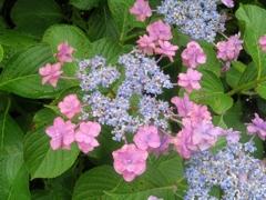 青と赤の紫陽花