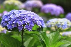紫陽花の季節~Blue purple