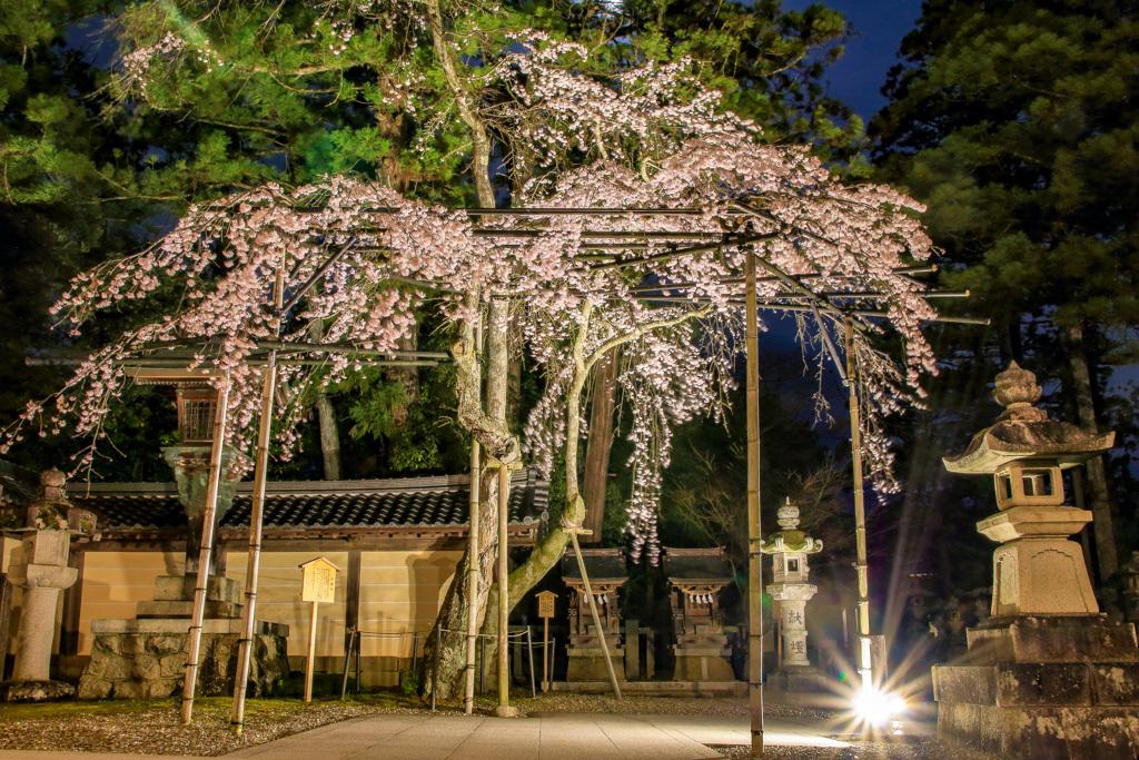 しだれ桜のライトアップ④