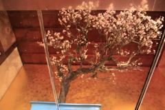 水鏡の中の盆梅