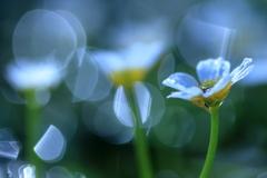 居醒の清水の妖精②~夜明けの透明感
