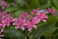 紫陽花の季節~可憐