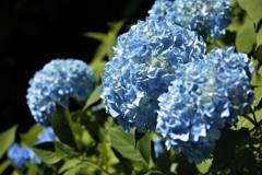 八幡山の紫陽花2