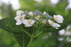 紫陽花の季節~miss white