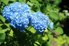 八幡山の紫陽花