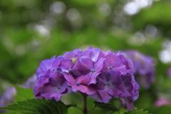 紫陽花の季節~紫夫人