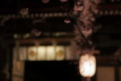 桜夜曲~Nocturne