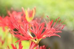咲き始めの曼珠沙華