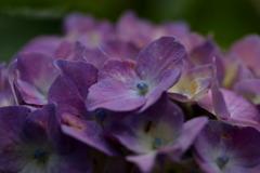 紫陽花の季節~上を向いて