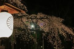提灯と枝垂桜