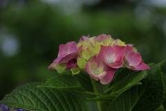 紫陽花の季節~花言葉
