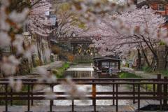 桜の水路②