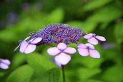 紫陽花の季節~花びら