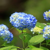 Pale blue hydrangea between rainy season