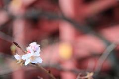 秋なのに桜?