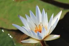 白いスイレンの花❀