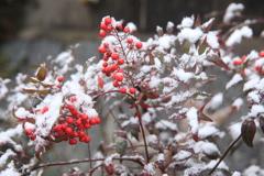 南天も雪化粧(^^♪