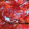 朱に染まる紅葉(^^♪