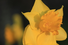 黄色い水仙咲く(^^)/