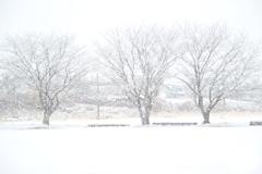 雪に霞む三本桜(^^♪