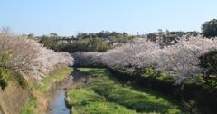 桜満開(^^)/