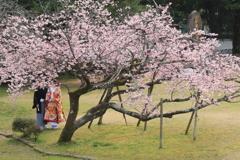桜を見る二人♡