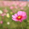 秋桜(^^♪