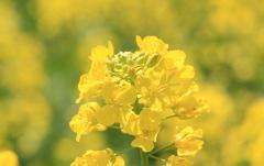 菜の花(^^)/