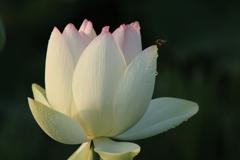 蓮の花(^^)/
