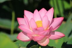 ハスの花❀