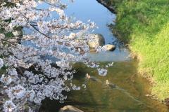 桜と鴨(^^)/