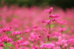 ソバの赤い花