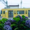 あぢさゐと菜の花色の電車 -①