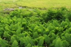 湿原のシダ