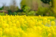 菜の花(DSC08406)